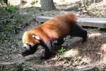 Pandacentret i Chengdu